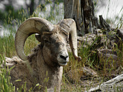 Bighorn Sheep Posters - The Big Horn Poster by Ernie Echols