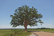 Big Tree Prints - The Big Tree Print by Kay Pickens