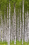 Greenwood Posters - The Birch Wood Poster by Heiko Koehrer-Wagner