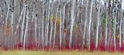Andrea Kollo - The Birches Panorama