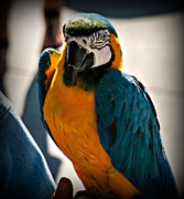 Blue And Yellow Macaw Prints - The Bird Print by Cathy Smith