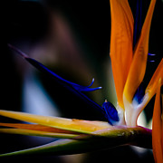 Yellow Bird Of Paradise Prints - The Bird of Paradise Print by David Patterson