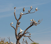 Bird Congregation Posters - The Bird Tree Poster by John Bailey