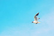 North Sea Prints - The Black Headed Gull Print by Angela Doelling AD DESIGN Photo and PhotoArt