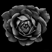 Dark Gray Prints - The Black Rose Flower Print by Jennie Marie Schell