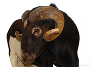 Joyce Dickens Metal Prints - The Black Sheep Are You Looking At Me Metal Print by Joyce Dickens