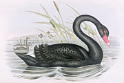 Oil Paint Framed Prints - The Black Swan Framed Print by John Gould