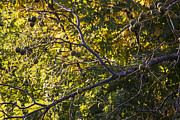 Walnut Tree Photograph Prints - The Black Walnut Tree Print by Janice Rae Pariza
