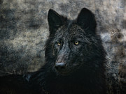 Wolf Portrait Prints - The Black Wolf Print by Joachim G Pinkawa