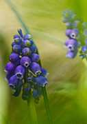 Fine Photography Art Photos - The Blue Blue Bells Of Spring by Constance Fein Harding