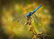 Dragonfly Framed Prints - The Blue Dragonfly  Framed Print by Saija  Lehtonen