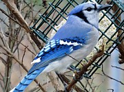Amy Maloney - The Blue Jay
