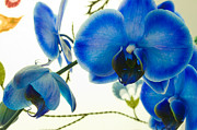 The Blue Mystique Orchid Print by Iryna Soltyska