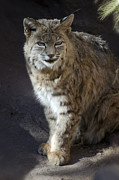 Bobcat Photo Posters - The Bobcat Poster by Saija  Lehtonen