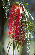 Bottle Brush Metal Prints - The Bottlebrush Tree Metal Print by Carolyn Marshall