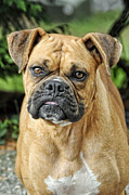 Working Dogs Framed Prints - The Boxer Framed Print by Kenny Francis
