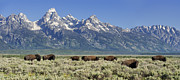 Bison Prints - The Boys Club of Grand Teton Print by Sandra Bronstein