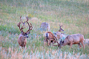 Mule Deer Herd Photograph Prints - The Boys in the Band Print by Jim Garrison