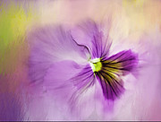Pansy Photos - The Breath Taking Beauty Of The Pansy by Diane Schuster