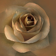 Umber Posters - The Bronze Rose Flower Poster by Jennie Marie Schell