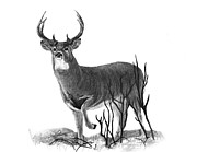 Wildlife Landscape Drawings - The Buck by Bobby Shaw