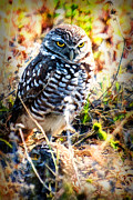Dan Friend - The Burrowing Owl  with atitude