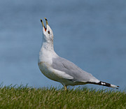 Larus Delawarensis Photos - The calling.. by Nina Stavlund