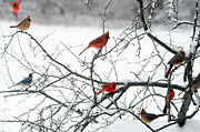 Cardinals In Snow Framed Prints - The Cardinal Club Framed Print by Suzanne Rogers