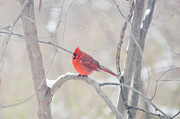 Red Cardinals In Snow Prints - The Cardinal Print by Kay Pickens