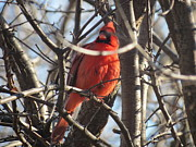 Nicole McInnes - The Cardinal