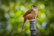 Wrens Digital Art - The Carolina Wren by Linda Unger