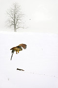 Hawk Prints - The Catch Print by Emily Stauring