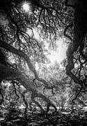 Sun And Tree Prints - The Century Oak 2 Print by Scott Norris