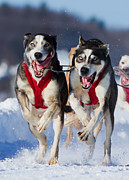 Husky Photo Prints - The Champions Print by Mircea Costina Photography