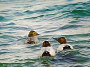 LeeAnn McLaneGoetz McLaneGoetzStudioLLCcom - The Chase Canvasback Ducks