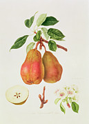 Vegetables Painting Prints - The Chaumontelle Pear Print by William Hooker