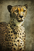 Cheetah Mixed Media Prints - The Cheetah Print by Angela Doelling AD DESIGN Photo and PhotoArt