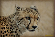 Judith Meintjes - The Cheetah In Portrait
