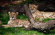 Swift Family - The Cheetahs