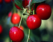 Reds Posters - The Cherries Are Ripe Poster by Karen  Burns