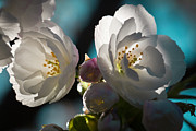 Spring Florals Photos - The Cherry Tree by David Patterson