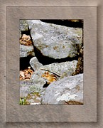 Patricia Keller Framed Prints - The Chipmunk Framed Print by Patricia Keller