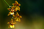 Blair Wainman - The Climbing Oncidium -...