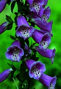 Foxglove Flowers Prints - The Color Purple Print by Kathleen Struckle
