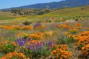 Ca Poppies Prints - The Colors of Spring - Fine Art by Lynn Bauer Print by Lynn Bauer