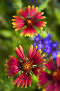 Gaillardia Photos - The Colors of Summer  by Saija  Lehtonen