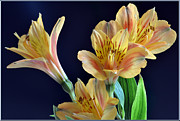 Alstroemeria Posters - The Colours Of Alstroemeria. Poster by Terence Davis
