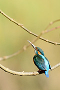 Fotosas Photography - The Common Kingfisher