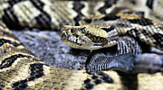 Rattlesnake Photos - The Complaint Department by JC Findley