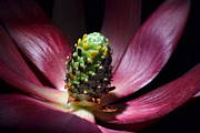 Protea Art Photos - The Cone by Terence Davis